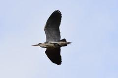 Heron (fotopraxis) Tags: heron harewood estate yorkshire british birds flight nikon d7200 200500 lens