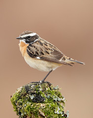 Whinchat Saxicola rubetra (Iain Leach) Tags: birdphotography wildlifephotography photograph image wildlife nature iainhleach wwwiainleachphotographycom canon canoncameras photography canon1dxmk2 canon5dmk4 beauty beautiful beautyinnature macro macrophotography closeup whinchatsaxicolarubetra