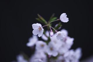 Sakura Drops._A9_9256