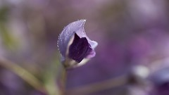 À bras ouverts... (Callie-02) Tags: romantique perles printemps lumière couleurs bokeh macro canon eau rosée gouttes drops extérieur jardin tiges mauve violet pourpre plante fleur