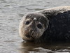 Harbor Seal (Phoca vitulina) (MarkWalpole) Tags: harborseal seal greathamcreek uk ef400mmf56lusm canoneos7dmarkii phocavitulina
