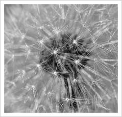 Das Ende naht... (#explore) (Norbert Kaiser) Tags: pusteblume löwenzahn kuhblume taraxacumsectruderalia taraxacum blume flower pflanze natur nature blackwhite schwarzweis macro