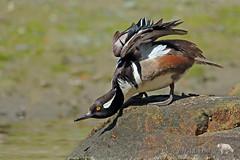 Stretch (PamsWildImages) Tags: hooded merganser duck bc bird britishcolumbia canada canon 1dxmarkii nature naturephotographer wildlife wildlifephotographer pamswildimages