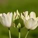 Trio -White Tulips