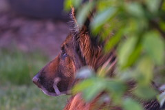 Keep Your eyes open, I am here (mgradzki) Tags: dog animal pies przyroda nature nikon sigma
