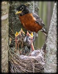 Robins (Michael Shoop) Tags: michaelshoop canon7dmarkii robbin birds babybirds spring nature nest feeding stlouis missouri usa tree