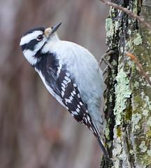 Downy Woodpecker (vischerferry) Tags: downywoodpecker bird woodpecker tree picoidespubescens newyorkstate