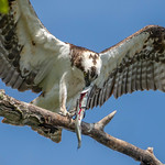 osprey with fish 3 thumbnail
