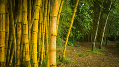 Yellow bamboos (remonstrate) Tags: hawaii unitedstates us