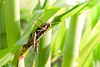 Grasshopper eating corn in garden (GStudio88) Tags: area clear countryside cultivated fall farming field fruition grain grasshopper harvest impend insect locust paddy plant power rice rural grasshoppercorn eating weed