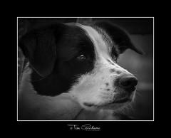 Its a Dogs life! (timgoodacre) Tags: dog dogs doggy canine nature blackwhite blackandwhite monochrome mono collie colliedog portrait pet animal