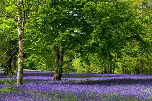 Bluebells in Parc Lye
