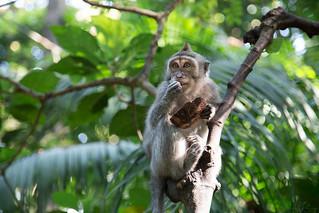 Macaca fascicularis having a morning snack