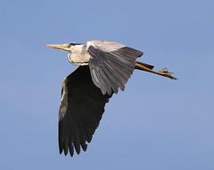 Grey Heron (merseymouse) Tags: greyheron birds birdsinflight wings flying wildlife nature