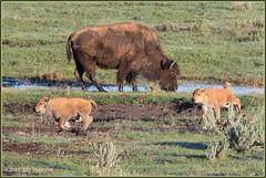 Morning Workout 6153 (maguire33@verizon.net) Tags: bison buffalo yellowstone yellowstonenationalpark calf reddog springtime wildlife wyoming unitedstates us