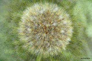 1-Collage138-003 dandelion beauty , collage