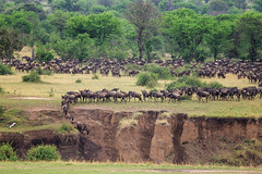 Wildebeest migrating across the Mara River, Tanzania, Africa. (Anne McKinnell) Tags: africa animals crossing marariver migration tanzania wildebeest wildlife