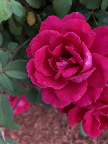c2018 May 17, Red Roses