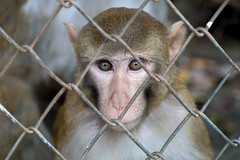 Inside looking out (Sheehan Tauseef) Tags: monkey cage animals animal
