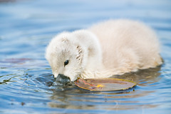 He's So Fluffy (brendon_curtis) Tags: swan swans baby babies nature natural animals wildlife bird birds avian white ducklings family portrait