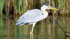 Grey Heron (doranstacey) Tags: nature wildlife birds waterbirds grey heron rspb oldmoor reserve tamron 150600mm nikon d5300