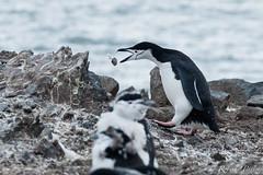 Preparando el nido (robertopastor) Tags: antarctica antarctique antarktika antartic antártida expedición fuji hannahpoint robertopastor southshetlandislands viaje walkerbay xt2 xf14xtc xf100400 aq