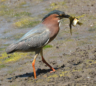 Green Heron, having just caught a fish