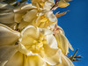 fly on a yucca blossom (maryannenelson) Tags: colorado durango yucca blossoms flowering