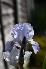 DSC_9946 Iris (PeaTJay) Tags: nikond750 sigma reading lowerearley berkshire macro micro closeups gardens indoors nature flora fauna plants flowers iris