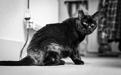 2018_140 (Chilanga Cement) Tags: nikon nik d850 nikond850 bw blackandwhite monochrome cat whiskers kitty