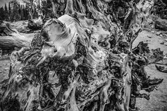 Uprooted (erickson.becca) Tags: walk hike colorado stmary'sglacier wanderlust myview seewhatisee capture image fineart line texture outdoors land outside photography roots tree blackandwhite nature