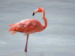 Bonaire 2018 (Valerie Hukalo) Tags: flamingo flamand valériehukalo hukalo bonaire antilles caraïbes paysbas flamandrose bird oiseau