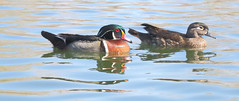 Wood Ducks, Mated Pair(Aix sponsa); Albuquerque, NM, Tingley Beach Park [Lou Feltz] (deserttoad) Tags: bird wildbird waterfowl nature reflection water park pond duck newmexico