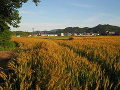Ripening barley (Greg Peterson in Japan) Tags: ritto 栗東市 shiga barley fields landscapes hayashi 植物 麦 japan 滋賀県 plants shigaprefecture