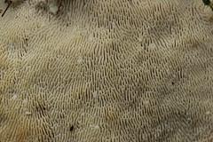 Lumpy Bracket - Trametes gibbosa (Björn S...) Tags: trametesgibbosa buckeltramete polyporebossu lumpybracket pilz mushroom champignon fungo hongo