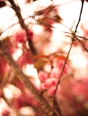 Sakura (louie imaging) Tags: sakura cherry blossom tree flower spring expression mood blossoms world pictorial depth bokeh bokehlicious painted lens culture camera life icon iconic abstract surreal surrealism impression impressionism san francisco japan light afternoon clouds explore create energy macro