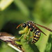 Polistes chinensis antennalis (Asian paper wasp, フタモンアシナガバチ)