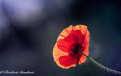 First rays ... (frederic.gombert) Tags: flower light color blue red poppy sun ray sunlight spring summer wild