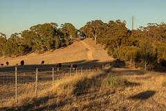 The dry and dusty trails (dmunro100) Tags: dry barren dusty trails adelaidehills yurrebilla cows paddock southaustralia drought