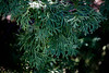 E is for Evergreen (Just Say Jules!) Tags: photochallenge evergreen tree stuffinmybackyard saginawmichigan thelettere