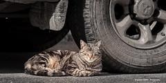 Siesta (Ignacio Ferre) Tags: gato gatocomún cat felidae felino felid felines feliscatus felids feline animal mammal mamífero nikon españa spain siesta rest descanso mascota pet