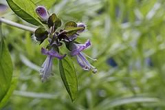 Basil Cinnamon _8621 (Barrie Wedel) Tags: basil herbs flower pink gardensafari plant plantblossom nature naturephoto closeencounter depthoffield closeup macro macrophotography macrolife tinyworld