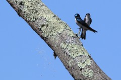 Tree swallows  not bothered by downy woodpecker (j shew) Tags: downywoodpecker treeswallows huntleymeadows mating