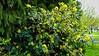 08-DSC05526 (Nowiny z Monachium) Tags: münchen ogródróż rosengarten bäumen giftpflanzen isarauen sträu