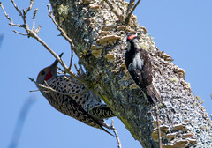 Two-fer woodpeckers: Flicker and Downy (RebelRob) Tags: britishcolumbia vancouverisland victoriabc birds birdwatching northernflicker downywoodpecker picoidespubescens colaptesauratus