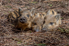 JWL2777  Hoglets! (jefflack Wildlife&Nature) Tags: wildboar boar boars hogs hoglets pigs piglets wildlife woodlands animal animals forest countryside forestry forestofdean nature ngc npc