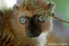 Blue-eye lemur, Apenheul (kimberlydejager) Tags: apenheul thenetherlands nederland holland apeldoorn monkey aap apen animal animals zoo dierentuin