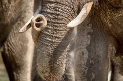 Elephant Trunk (lyn.f) Tags: elephanttrunk loxodontaafricana chobenationalpark botswana