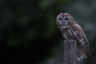 Tawny owl, natural light, 30mins after sunset
