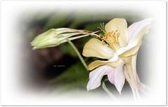 The Two : Beginning and Glamor ... (ljucsu) Tags: flower flowermacro plant outdoor gardenflower macro closeup spring springflowers aquilegia grannysbonnet columbine harangláb sasfű водосбо́р óрлик aквиле́гия ngc npc
